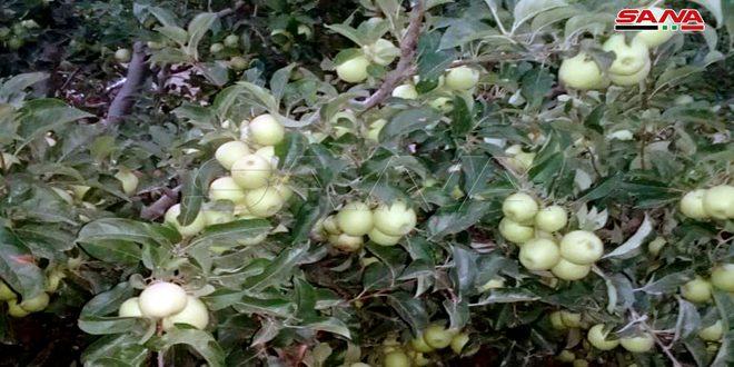 В Хаме ожидают собрать 22 338 тонн яблок