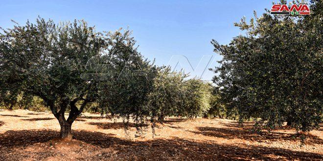 В Идлебе урожай оливок в освобожденных от терроризма районах составил 11 000 тонн