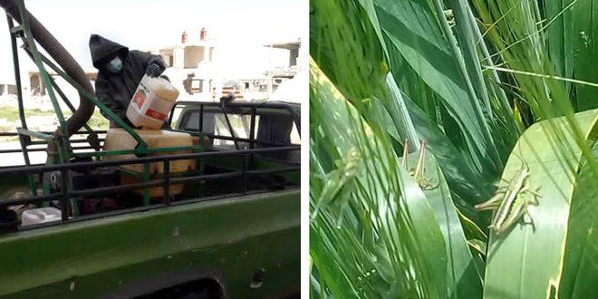 В провинции Хама приняты меры в случае нашествия саранчи