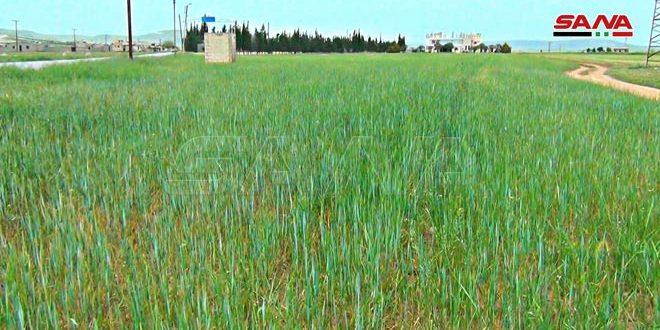 В Хаме пшеницей засеяно в 3 раза больше площади по сравнению с прошлым годом