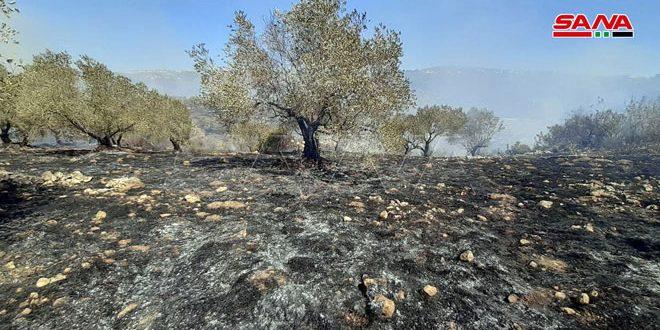 В провинции Тартус продолжается борьба с пожарами на оливковых плантациях