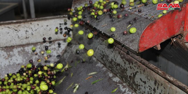 В провинции Дараа и районе Аль-Габ провинции Хама оценили урожай оливок