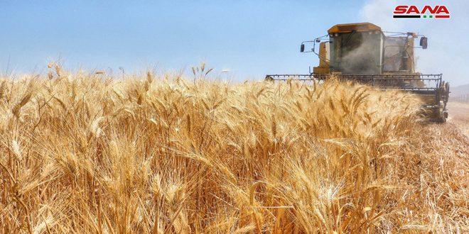 Hasat Mevsiminde Altın Başaklar.. Berketli Hayır Mevsimi (Video-Fotoğraflar)