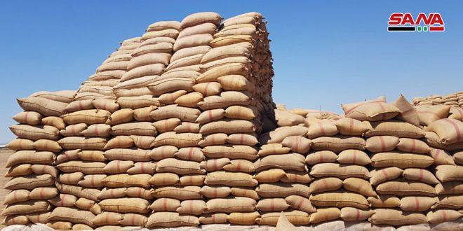 Hama'da Tahıl Teslimi Devam Ediyor