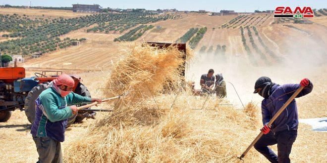 Kuzey Homs Kırsalı.. Çiftçiler Tarım Planını Tamamladı Hükumet Yetkililerinden Mahsullerinin Pazarlanmasını Talep Etti