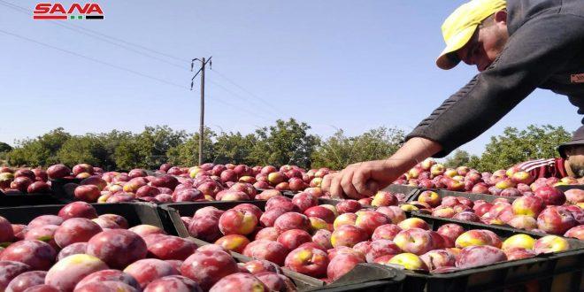 Hama Kırsalında Şeftali ve Kayısı Meyvelerinin Toplama Ve Pazarlama Mevsimi Başladı