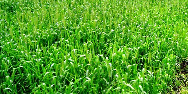تحسن واقع المزروعات الشتوية في حماة جراء الهطولات المطرية
