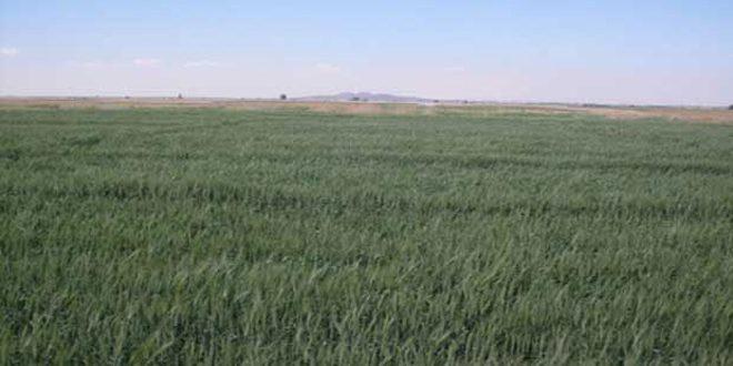 إكثار بذار درعا ينفذ زراعة 578 طنا من بذار القمح للموسم الحالي