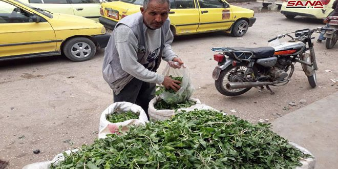 موسم النباتات البرية في الحسكة… بين الفوائد الطبية والمردود الاقتصادي