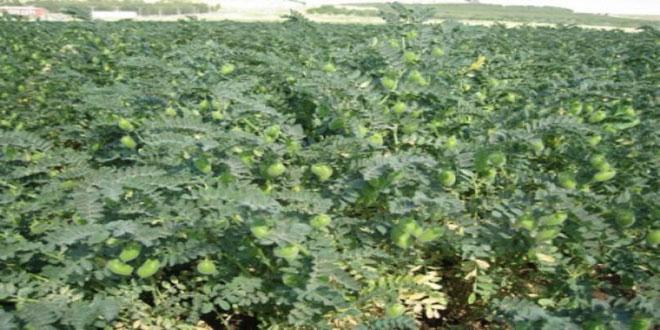 زراعة نحو 23 ألف هكتار من محصول الحمص بالسويداء