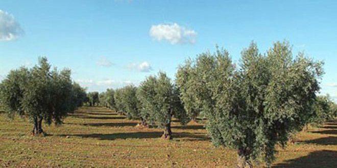 الجفاف يهدد الأشجار المثمرة في ريف حماة الشرقي