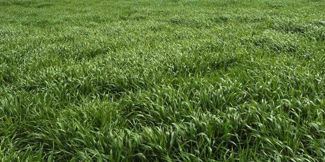 أكثر من 23 ألف هكتار المساحات المزروعة بمحصولي القمح والشعير في منطقة الغاب