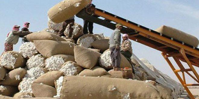 الحسكة: تسويق أكثر من 37 ألف طن من الأقطان لمحالج حماة وحمص