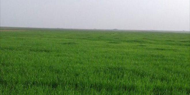 زراعة أكثر من 32 ألف هكتار بمحصول القمح في السويداء