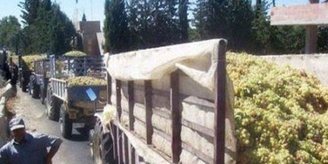 شركة عنب حمص تمنح المزارعين سلفة عن كل طن تستلمه