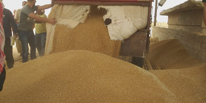 """تحديد الـ 24 من حزيران موعداً لاستلام القمح """"دوغما"""" من المزارعين في السويداء"""