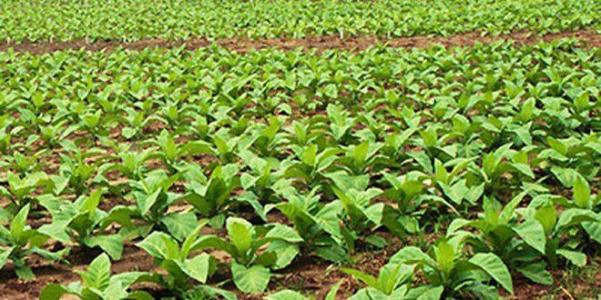 زراعة أكثر من 26 ألف دونم بالتبغ في اللاذقية