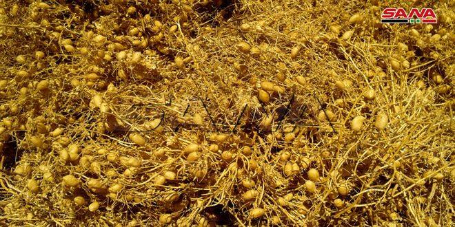 إنتاج أكثر من 6 آلاف طن من الحمص في السويداء