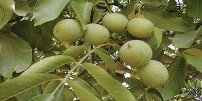 زراعة حماة تتوقع إنتاج 666 طناً من الجوز