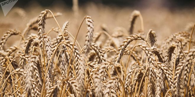 أكثر من 76 مليون طن إنتاج روسيا من الحبوب