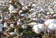 زراعة الحسكة: الإصابات الحشرية في حقول القطن طفيفة ودون العتبة الاقتصادية