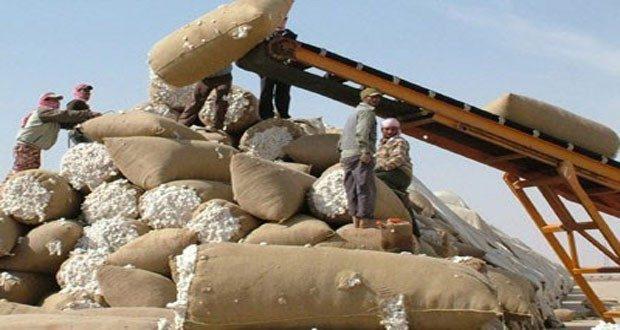 مؤسسة الأقطان: رفع سعر القطن المحبوب يشجع المزارعين على تسليم محصولهم للمؤسسة