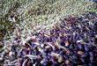 تقديرات بزيادة 25 بالمئة.. بدء قطاف الزيتون في أغلبية المحافظات