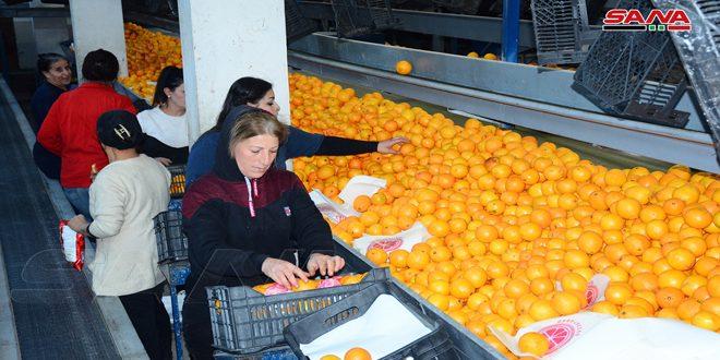 إجراءات حكومية لدعم تسويق الحمضيات في اللاذقية