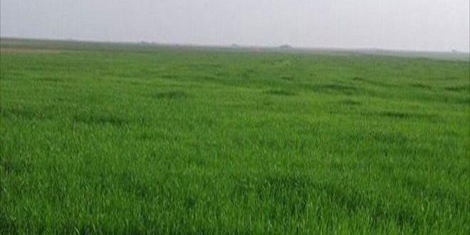 زراعة حماة: تنفيذ كامل الخطة المقررة لزراعة الشعير