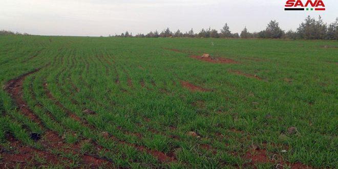 97 بالمئة نسبة زراعة القمح البعل للموسم الحالي في حمص