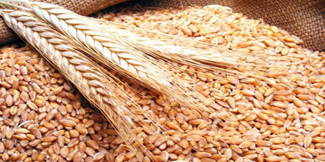 مبيعات إكثار البذار بالسويداء تتجاوز 1500 طن من بذار القمح