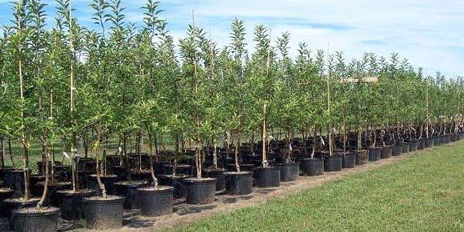 زراعة حماة: بيع أكثر من 300 ألف غرسة مثمرة للفلاحين