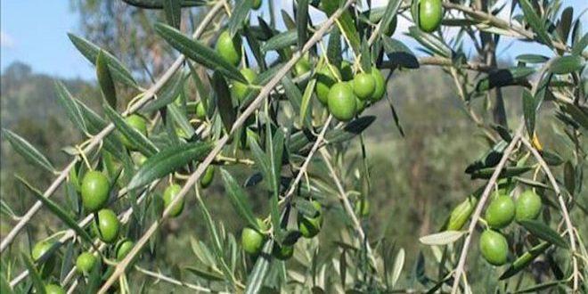 أكساد تدرب 23 مهندسا زراعيا وفنيا عمانيا على أحدث طرق زراعة وإنتاج أشجار الفاكهة والزيتون