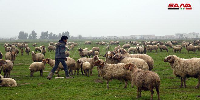 تعدادها نحو 48 ألفاً.. الثروة الحيوانية تستعيد عافيتها في الغوطة الشرقية