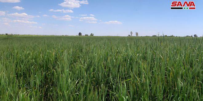 الانتهاء من زراعة الحقول الإكثارية بالقمح في خان شيخون بإدلب