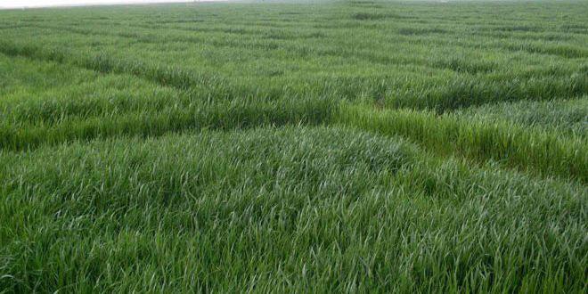 الزراعة: محصول القمح جيد وتمديد تمويل الفلاحين بالسماد الآزوتي حتى نهاية آذار القادم