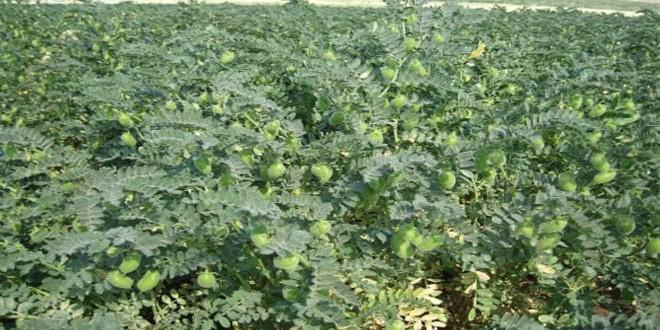 نسب تنفيذ عالية لخطة زراعة البقوليات في الرقة وحلب ودير الزور