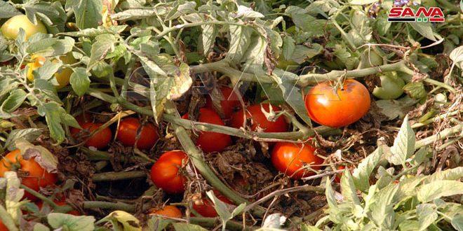 أكثر من 10 آلاف دونم خطة زراعة المحاصيل الصيفية بالسويداء للموسم الحالي
