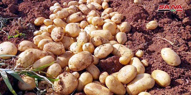 إكثار البذار تبدأ إنتاج بذار أمهات البطاطا في طرطوس والتوزيع على الفلاحين في صيف 2021