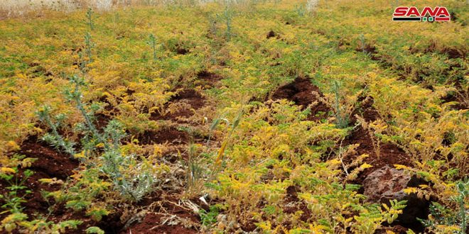 زراعة 128 ألف دونم من الحمص بالسويداء وزراعته متواصلة خلال الشهر الحالي