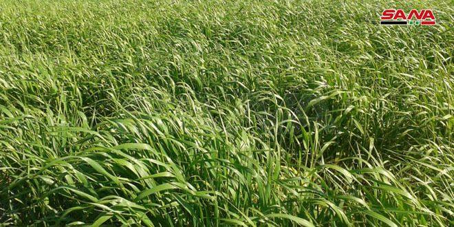 زراعة دير الزور: نحو 3500 هكتار مزروعة بالمحاصيل والخضراوات الشتوية وحالة القمح جيدة