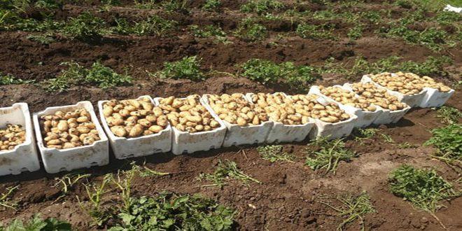 توقعات بإنتاج نحو نصف مليون طن.. بدء قلع البطاطا الربيعية يؤمن حاجة السوق المحلية ويخفض الأسعار