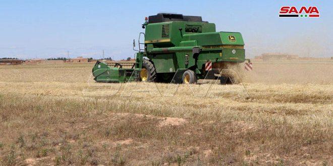 حصاد 165 ألف هكتار مزروعة بالقمح والشعير في الحسكة