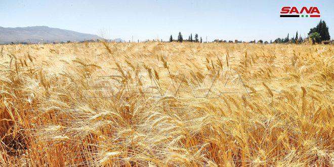 مؤسسة إكثار البذار تتعاقد مع الفلاحين لاستلام 75 ألف طن من القمح الإكثاري