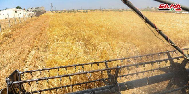 الزراعة: حصاد 88900 هكتار من الأراضي المزروعة بالقمح