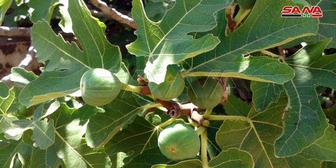 أكثر من 1900 طن تقديرات إنتاج ثمار التين بالسويداء