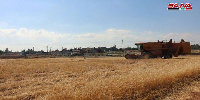 عمليات تسويق القمح مستمرة بدرعا وصرف قيم المحصول دون تأخير