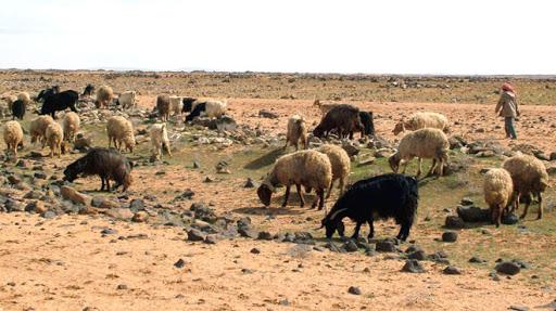 80 ألف أسرة استفادت من مشروع تطوير الثروة الحيوانية خلال ستة أشهر