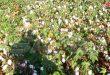 زراعة أكثر من 12 ألف هكتار بالقطن في دير الزور وحالة المحصول جيدة
