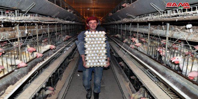 منشأة دواجن السويداء تنتج نحو 5.5 ملايين بيضة خلال 6 أشهر